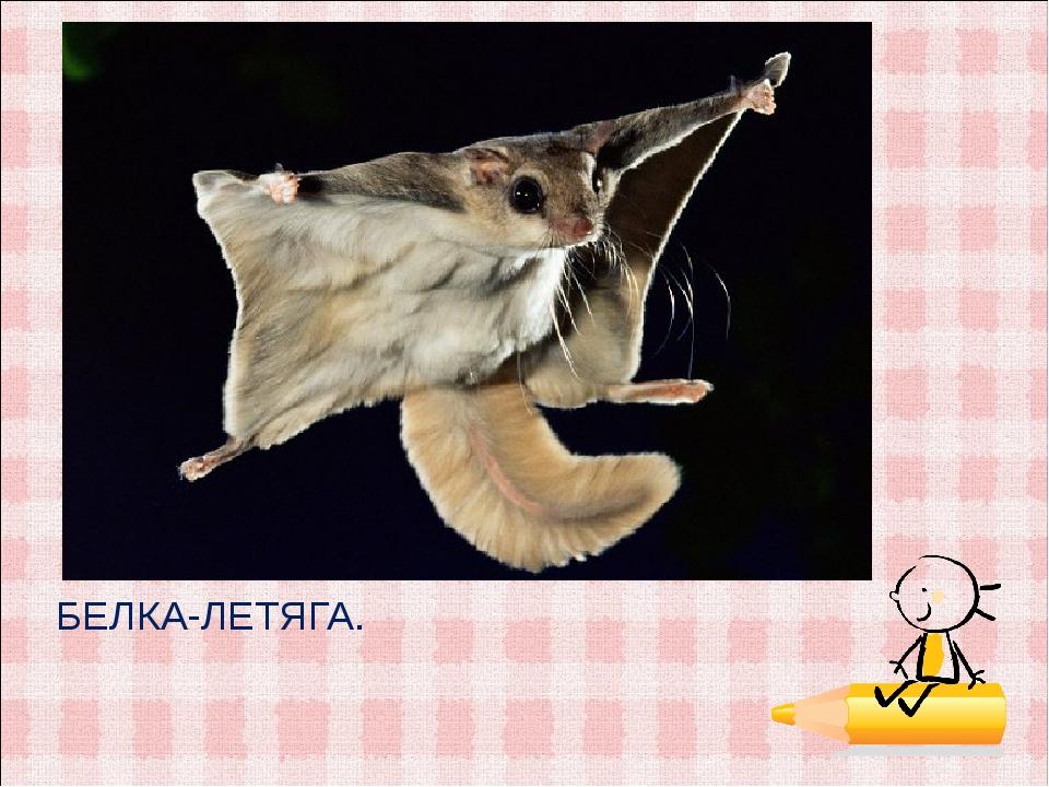 БЕЛКА-ЛЕТЯГА.