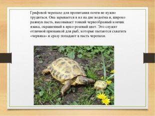 Грифовой черепахе для пропитания почти не нужно трудиться. Она зарывается в и