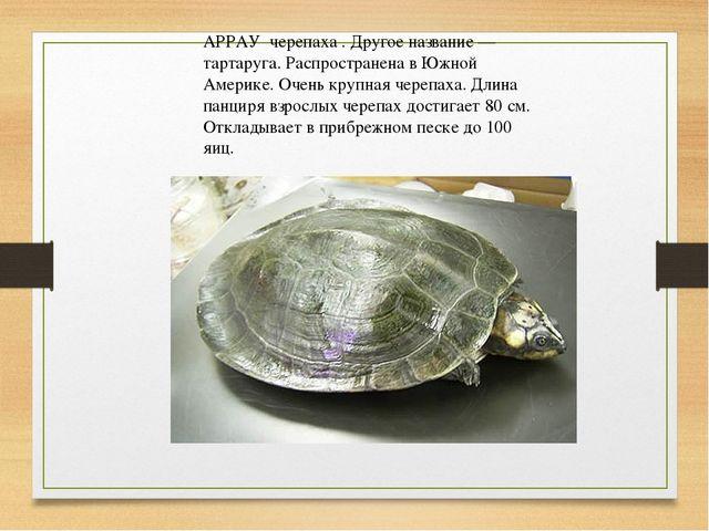 АРРАУ черепаха . Другое название — тартаруга. Распространена в Южной Америке...