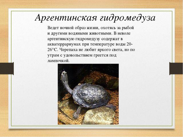 Аргентинская гидромедуза Ведет ночной образ жизни, охотясь за рыбой и другими...