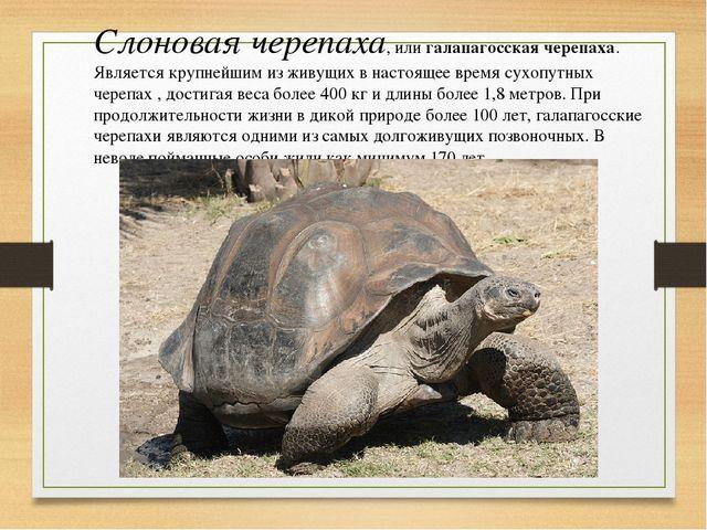 Слоновая черепаха, илигалапагосская черепаха. Является крупнейшим из живущих...