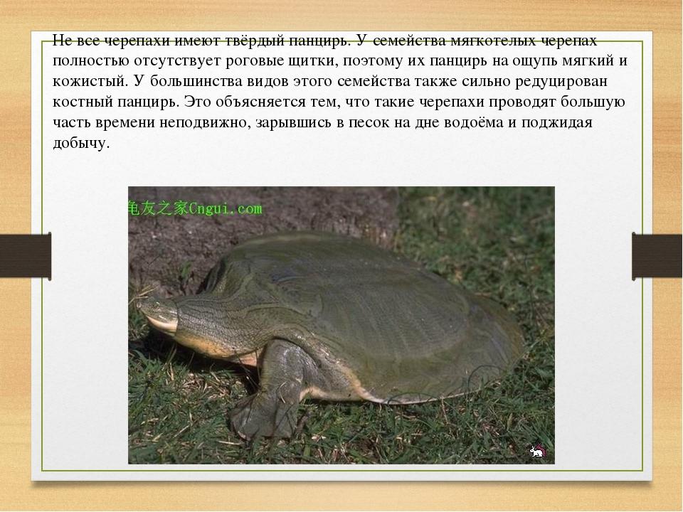 Не все черепахи имеют твёрдый панцирь. У семейства мягкотелых черепах полност...