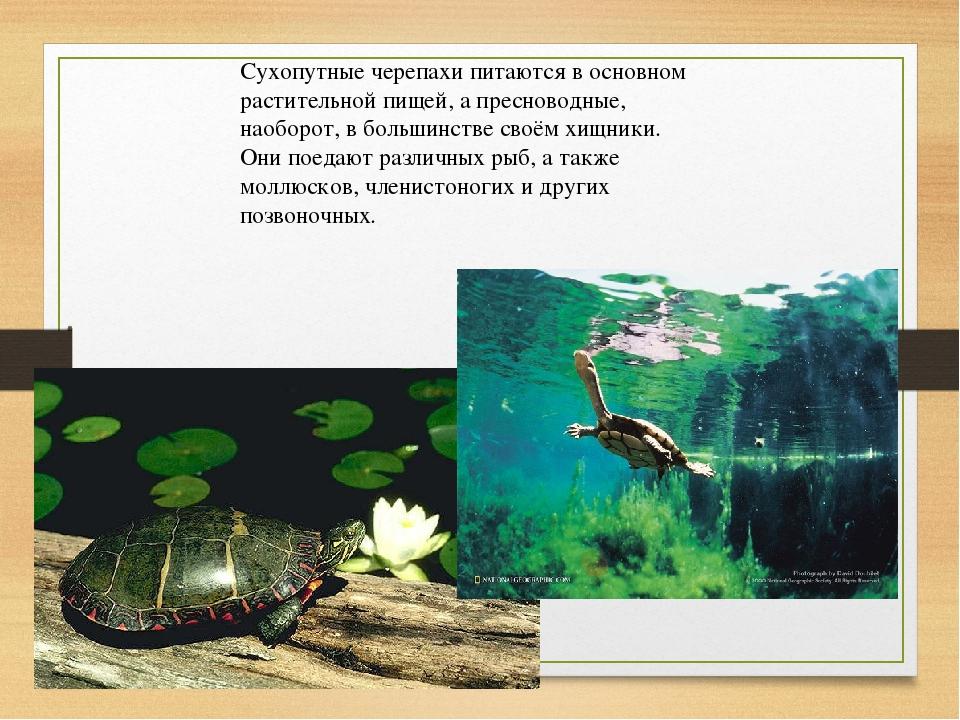Сухопутные черепахи питаются в основном растительной пищей, а пресноводные, н...