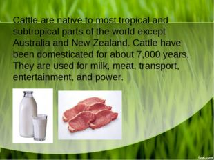 Cattle are native to most tropical and subtropical parts of the world except