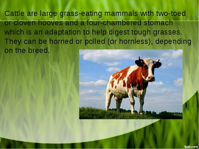 Cattle are large grass-eating mammals with two-toed or cloven hooves and a fo...