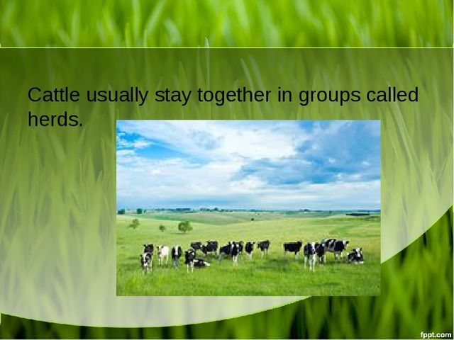 Cattle usually stay together in groups called herds.