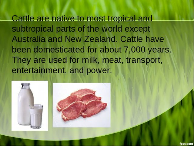 Cattle are native to most tropical and subtropical parts of the world except...