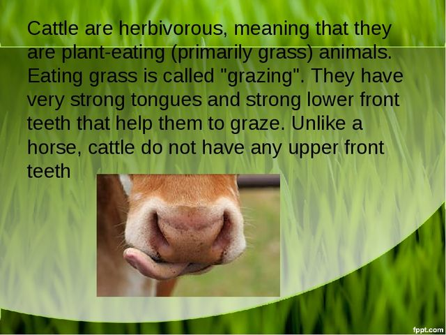 Cattle are herbivorous, meaning that they are plant-eating (primarily grass)...