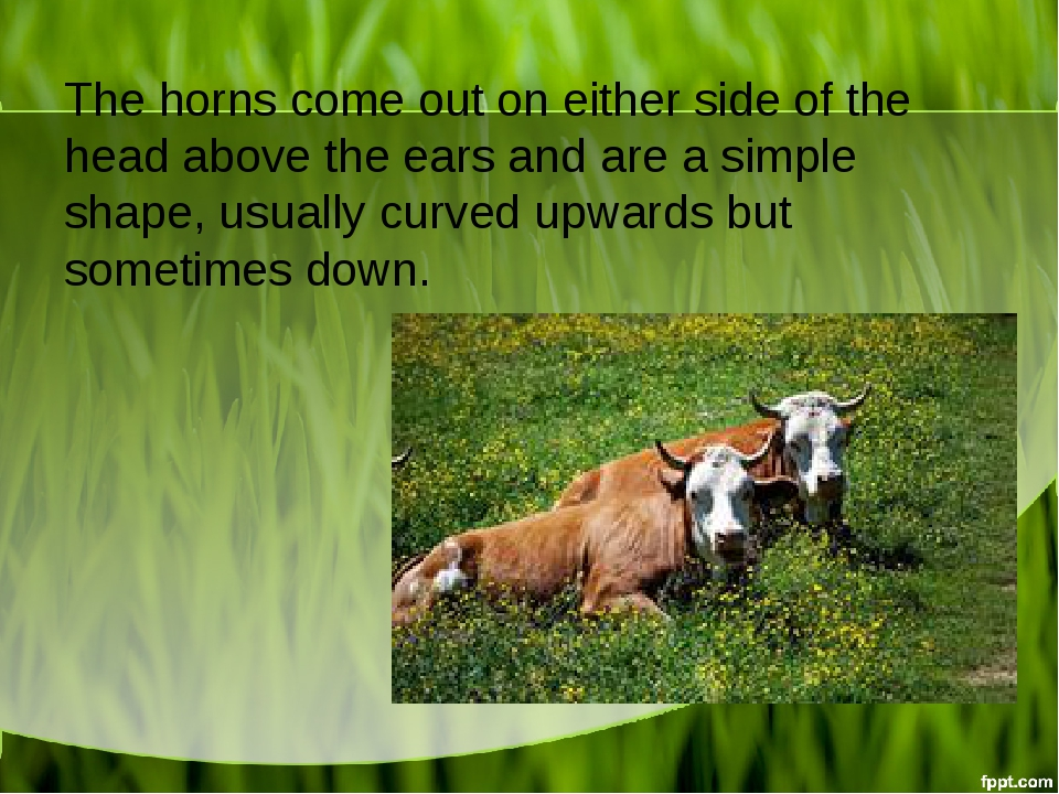 The horns come out on either side of the head above the ears and are a simple...