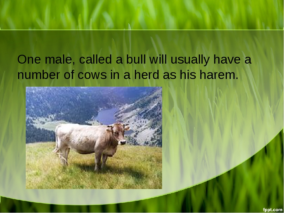 One male, called a bull will usually have a number of cows in a herd as his h...