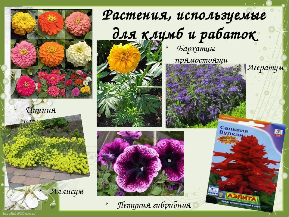 Растения, используемые для клумб и рабаток Цинния изящная Бархатцы прямостоящ...