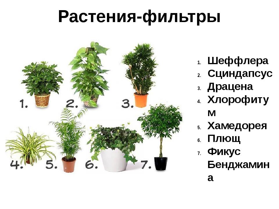 Растения-фильтры Шеффлера Сциндапсус Драцена Хлорофитум Хамедорея Плющ Фикус...