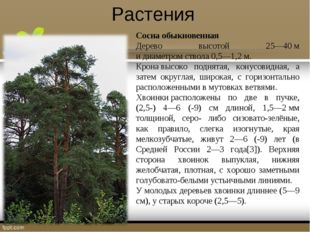 Растения Сосна обыкновенная Дерево высотой 25—40м идиаметромствола 0,5—1,2