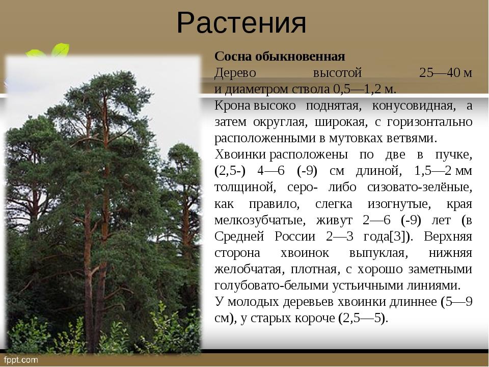 Растения Сосна обыкновенная Дерево высотой 25—40м идиаметромствола 0,5—1,2...