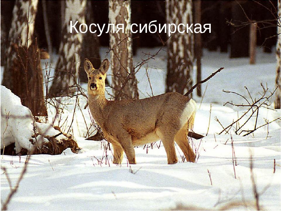 Косуля сибирская