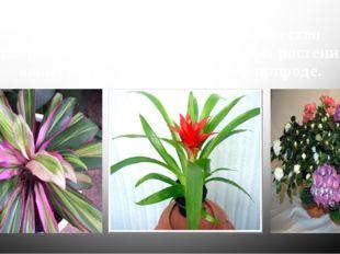Из них человек вывел такое множество красивых сортов и форм комнатных растени