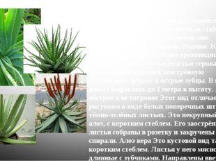 Алоэ Это растение относится к семейству лилейных. Низкое, с укороченным стеб