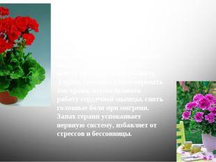 Все виды пеларгонии, которые выращивают в доме, объединяют одним названием –