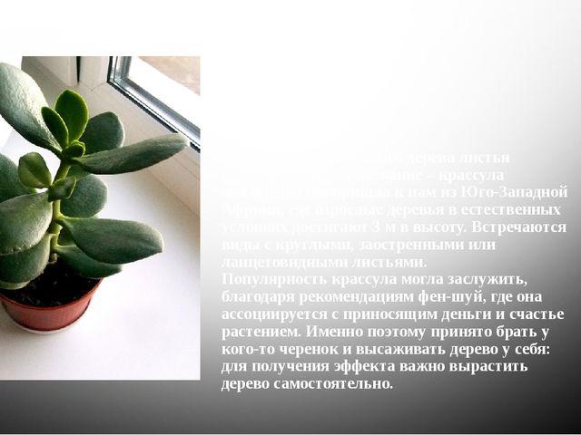 У комнатного денежного дерева листья овальные, отсюда название – крассула ова...