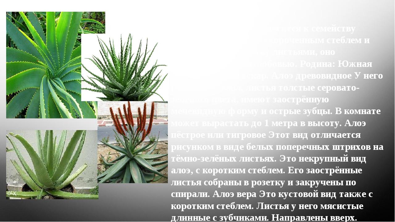 Алоэ Это растение относится к семейству лилейных. Низкое, с укороченным стеб...