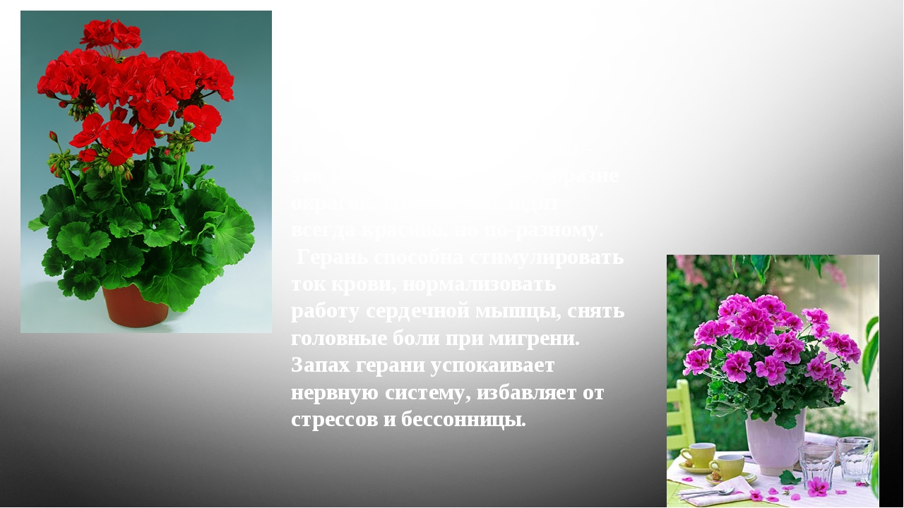 Все виды пеларгонии, которые выращивают в доме, объединяют одним названием –...