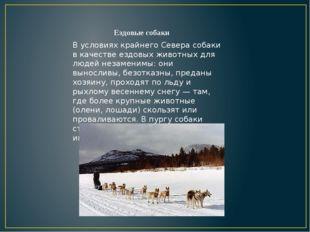 В условиях крайнего Севера собаки в качестве ездовых животных для людей незам