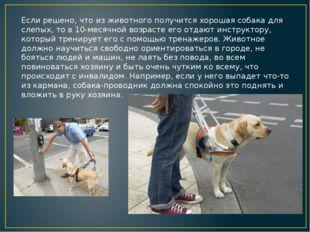 Если решено, что из животного получится хорошая собака для слепых, то в 10-ме