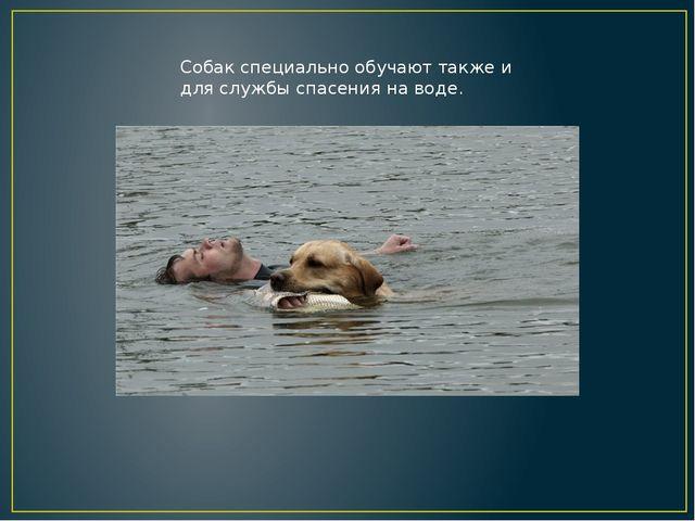 Собак специально обучают также и для службы спасения на воде.