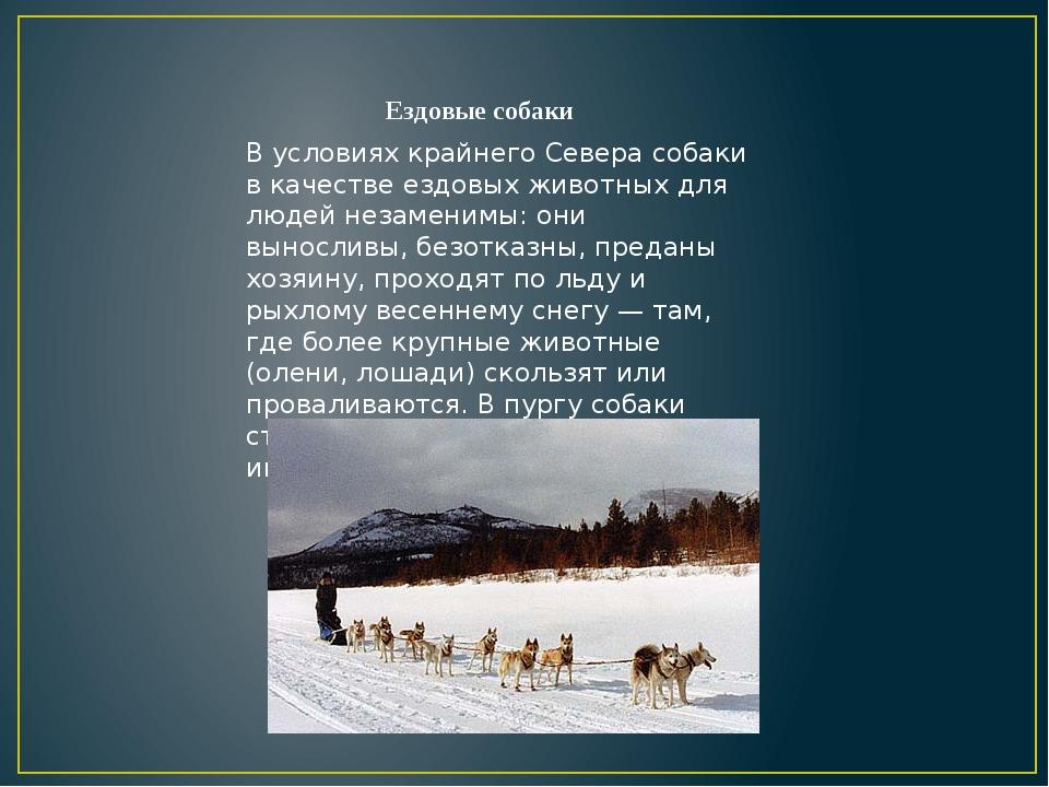 В условиях крайнего Севера собаки в качестве ездовых животных для людей незам...