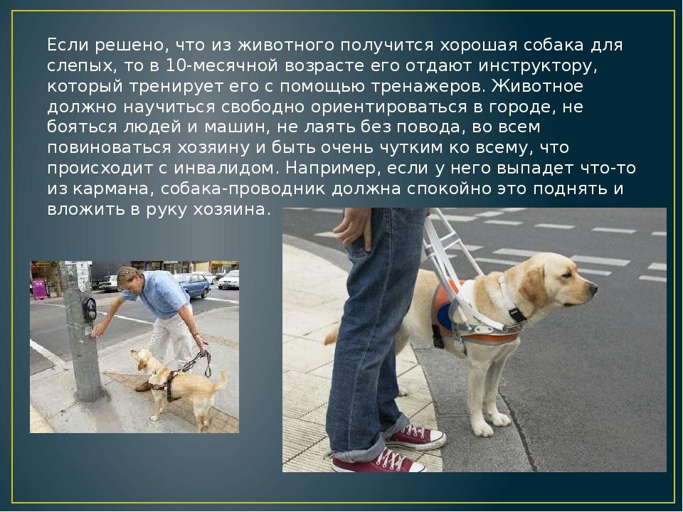 Если решено, что из животного получится хорошая собака для слепых, то в 10-ме...