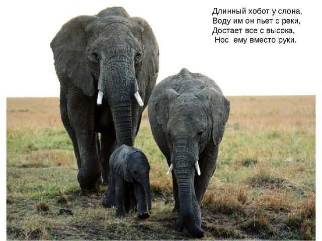 Длинный хобот у слона, Воду им он пьет с реки, Достает все с высока, Нос ему...