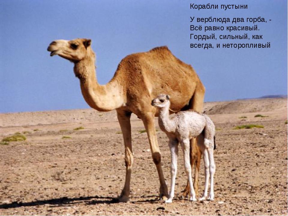Корабли пустыни У верблюда два горба, - Всё равно красивый. Гордый, сильный,...