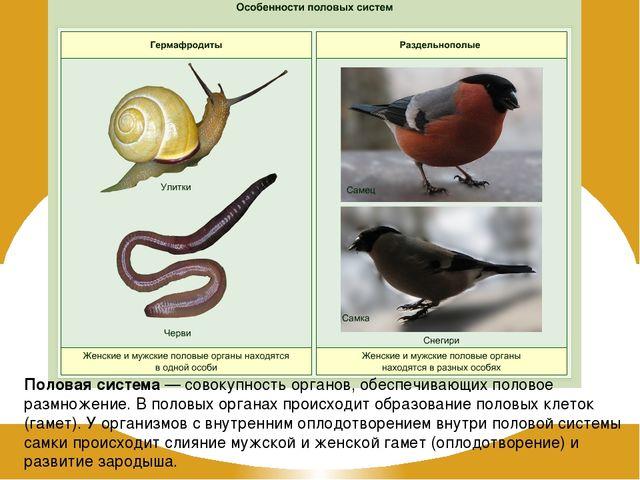 Половая система — совокупность органов, обеспечивающих половое размножение. В...