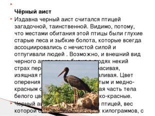 Чёрный аист Издавна черный аист считался птицей загадочной, таинственной. Ви