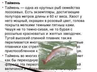Таймень Таймень — одна из крупных рыб семейства лососевых. Есть экземпляры, д