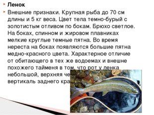 Ленок Внешние признаки. Крупная рыба до 70 см длины и 5 кг веса. Цвет тела те