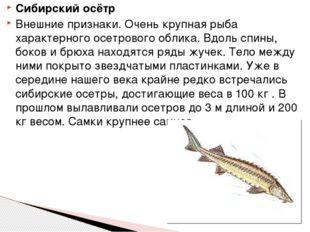 Сибирский осётр Внешние признаки. Очень крупная рыба характерного осетрового