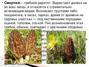 Сморчки— грибной раритет. Вырастают далеко не во всех лесах, и относятся к ст