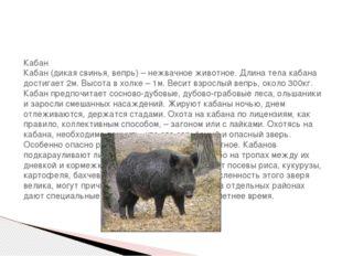 Кабан Кабан (дикая свинья, вепрь) – нежвачное животное. Длина тела кабана до