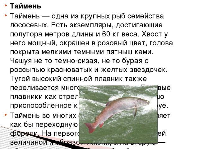 Таймень Таймень — одна из крупных рыб семейства лососевых. Есть экземпляры, д...