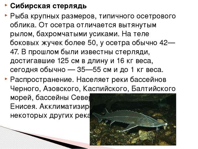 Сибирская стерлядь Рыба крупных размеров, типичного осетрового облика. От осе...