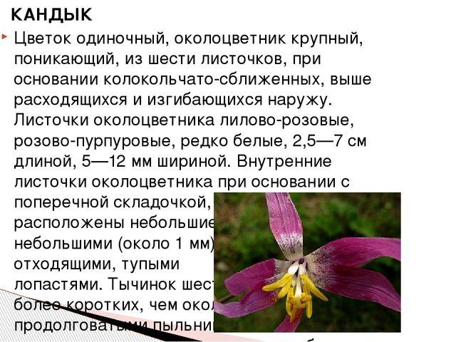 КАНДЫК Цветокодиночный,околоцветниккрупный, поникающий, из шести листочко...