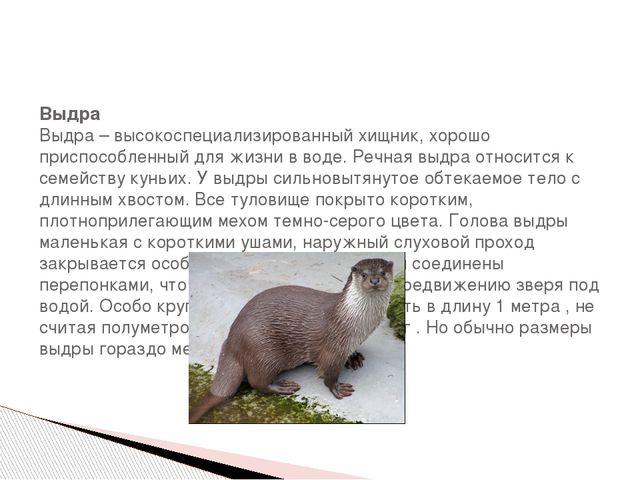 Выдра Выдра – высокоспециализированный хищник, хорошо приспособленный для жи...