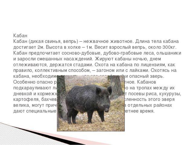 Кабан Кабан (дикая свинья, вепрь) – нежвачное животное. Длина тела кабана до...
