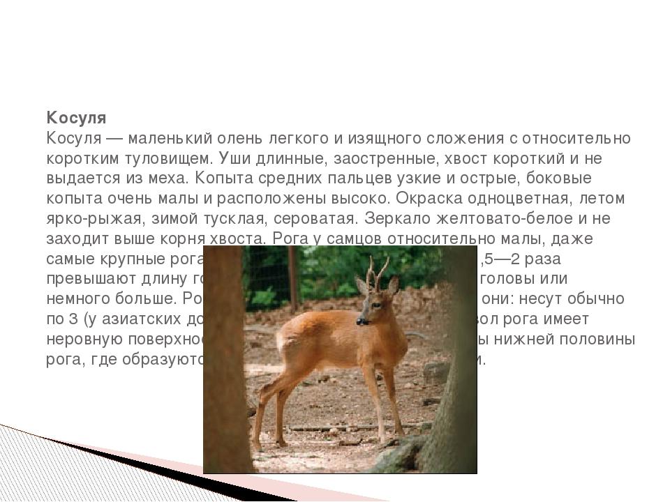 Косуля Косуля — маленький олень легкого и изящного сложения с относительно к...