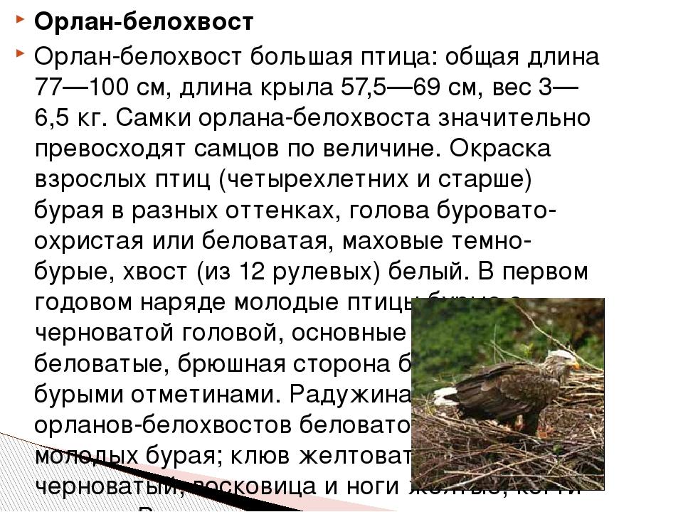 Орлан-белохвост Орлан-белохвост большая птица: общая длина 77—100 см, длина к...