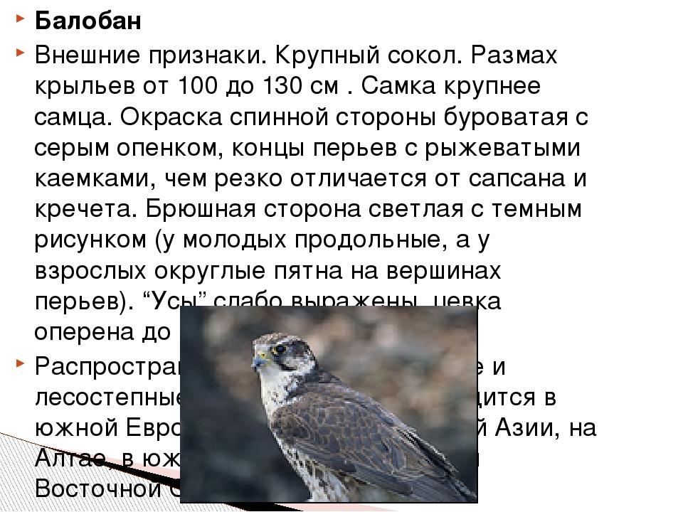 Балобан Внешние признаки. Крупный сокол. Размах крыльев от 100 до 130 см . Са...