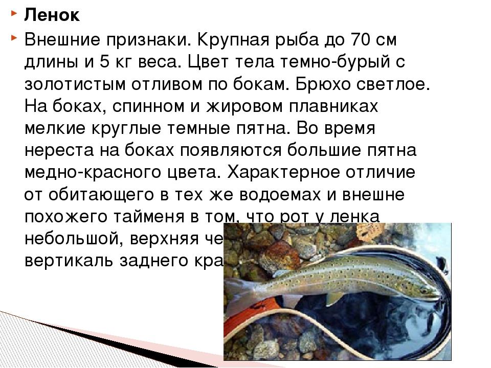 Ленок Внешние признаки. Крупная рыба до 70 см длины и 5 кг веса. Цвет тела те...