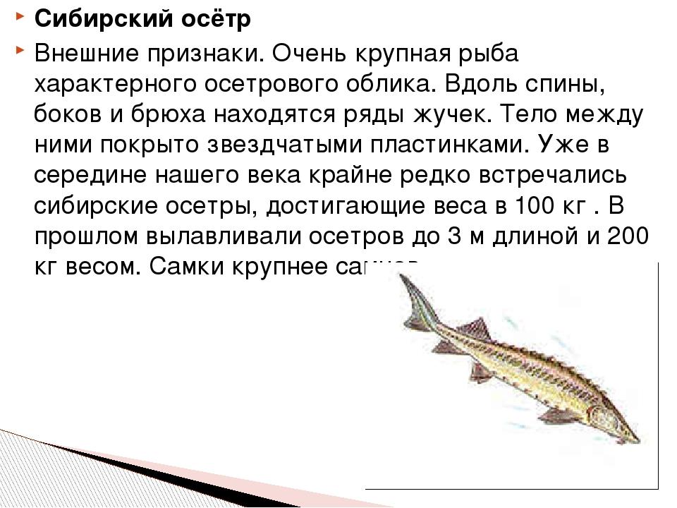 Сибирский осётр Внешние признаки. Очень крупная рыба характерного осетрового...