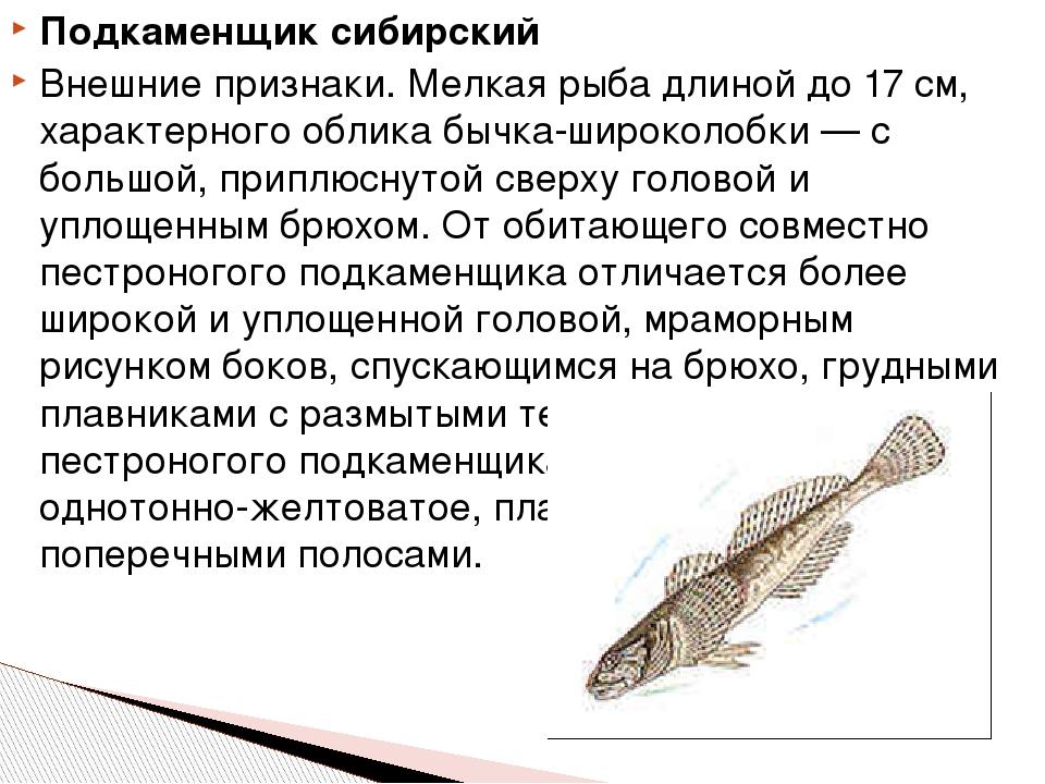 Подкаменщик сибирский Внешние признаки. Мелкая рыба длиной до 17 см, характер...